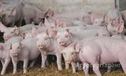 Объявление Закупаем свиней живым весом в Краснодарском крае