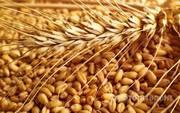 Объявление Куплю зерно пшеницы озимых, большим опытом в Саратовской области