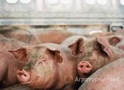 Объявление Продаем свиней с откорма, выращенных на натуральных кормах в Ульяновской области