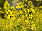 Объявление Покупаем  рапс масличный в Красноярском крае