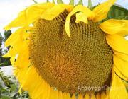 Объявление Продам семена гибридов подсолнечника в Алтайском крае