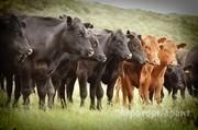 Объявление Закупаю Коров Быков в Пермском крае