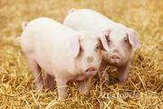 Объявление Куплю любых свиней. в Краснодарском крае