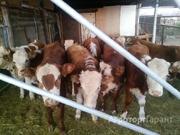 Объявление Куплю подсосных бычков на доращивание. в Волгоградской области