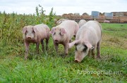 Объявление Продаю свиней живым весом в Ростовской области