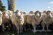 Объявление Мериносы! Овцематки с ягнятами. 6500 руб/пара. в Республике Калмыкия