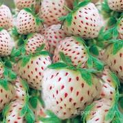 Объявление Купим урожай ягод белой крупной клубники  и желтой малины. в Москве и Московской области