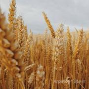 Объявление Пшеница 5 класса от производителя. 11000 руб/тонна. в Волгоградской области