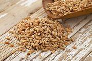 Объявление Семена озимой пшеницы Станичная, Ермак, Лидия и др в Ростовской области