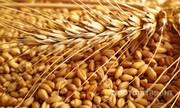 Объявление Пшеница 3, 4 класс в Орловской области
