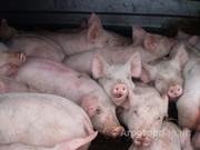 Объявление живок свиней в Новосибирской области