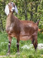 Объявление Шикарный нубийский козел с родословными документами США Пенза в Москве и Московской области