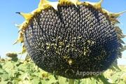 Объявление семена гибридов подсолнечника в Алтайском крае