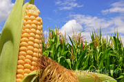 Объявление Продам кукурузу в Краснодарском крае