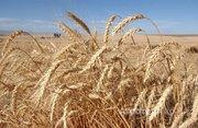 Объявление Семена зерновых культур в Алтайском крае