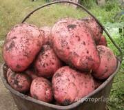 Объявление Крупный Красный Деревенский картофель. Доставка до квартиры. Тюмень в Тюменской области