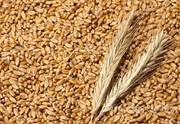 Объявление Пшеница в Алтайском крае