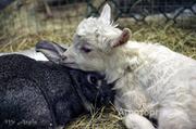 Объявление Продаются овцы, козы, кролики, другая скотина и половина дома  в Омской области