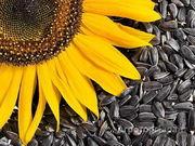 Объявление Семена подсолнечника в Казахстане