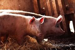 Объявление Крс  и свиньи в Пензенской области