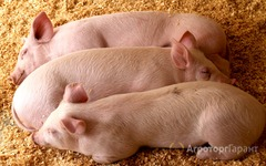 Объявление Продам поросят и взр свинок в Свердловской области