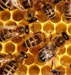 Объявление Пчелопакеты Карпатка, Карника. Привоз пчелопакетов на 2020 год в Костромской области