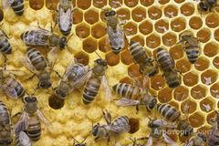 Объявление Продаю пчелосемьи в Алтайском крае