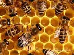 Объявление Пчелосемьи, пчелопакеты, ульи, рамки. в Ярославской области