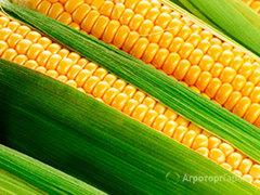 Объявление Семена гибридов кукурузы F1  на зерно/силос в Краснодарском крае