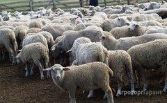 Объявление Ягнята мясных пород живым весом. 130 руб/кг. в Республике Калмыкия