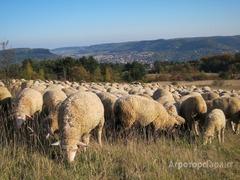 Объявление Овцы мясных пород живым весом. 120 руб/кг. в Республике Калмыкия