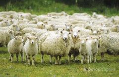 Объявление Продажа овец в Ростовской области