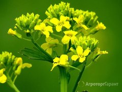 Объявление Семена озимой сурепицы на посев в Краснодарском крае