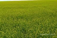 Объявление Семена озимого рыжика на посев в Краснодарском крае