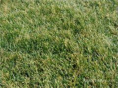 Объявление Продаю семена многолетних трав в Алтайском крае