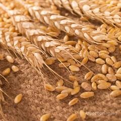 Объявление Пшеница фуражная оптом от производителя. в Тамбовской области