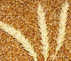 Объявление Пшеница 3 класса от производителя. 17000 руб/тонна. в Ростовской области
