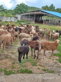 Объявление Овцы курдючные в Владимирской области