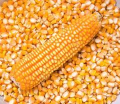 Объявление Продажа кукурузы в Саратовской области