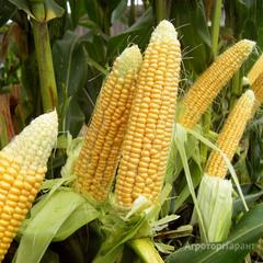 Объявление Cемена кукурузы Краснодарский в Белгородской области