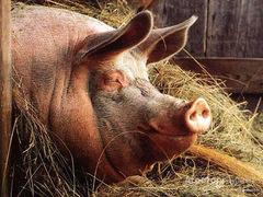 Объявление Куплю хряков свиноматок в Белгородской области