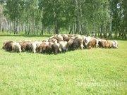 Объявление Овцы мясных пород живым весом с откорма. 110 руб/кг в Волгоградской области