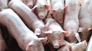 Объявление Продажа СВИНЕЙ свинокомплекс Антипинское в Алтайском крае