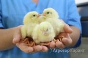 Объявление Домашняя птица, суточный молодняк. ИНКУБАТОР пгт. Энем Краснодар в Краснодарском крае