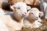 Объявление Ягнята мясных пород живым весом 180 руб/кг в Республике Калмыкия