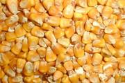Объявление Кукуруза фуражная от производителя 10200 руб/тонна в Волгоградской области