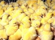Объявление Цыплята домашние несушка в Алтайском крае