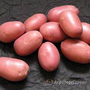Объявление Семенной картофель от производителя в Москве и Московской области
